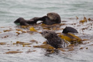 seaotters.jpg.492x0_q85_crop-smart