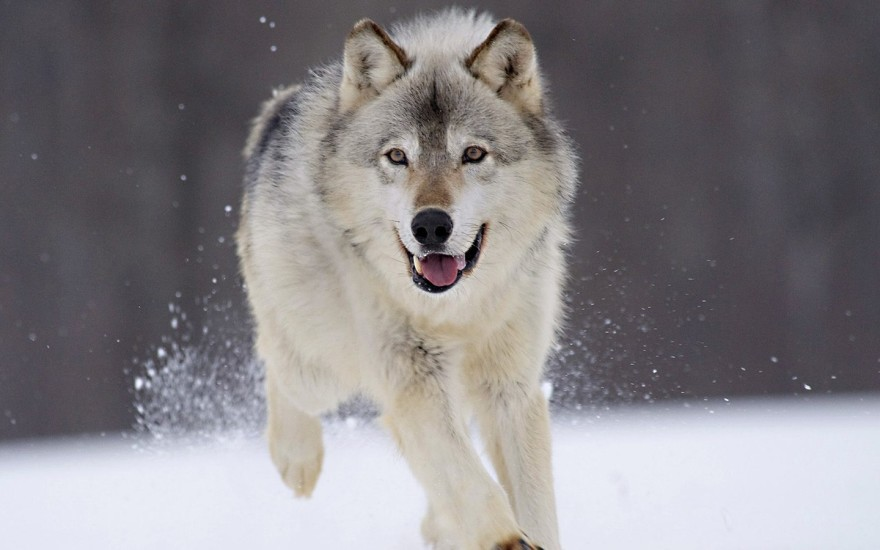 animals-wolves_00388006